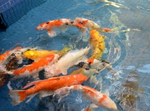 Koi in the pond at Ala Moana Shopping Centre